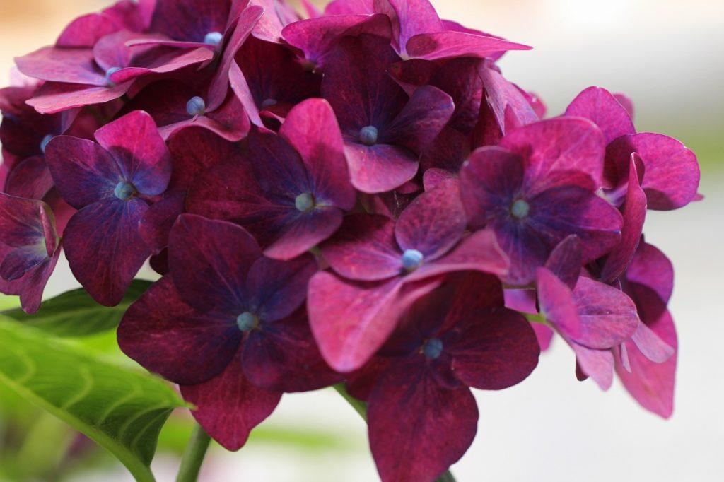 濃紫の紫陽花