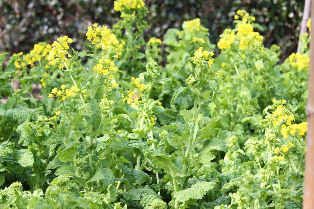 都筑民家園の菜の花