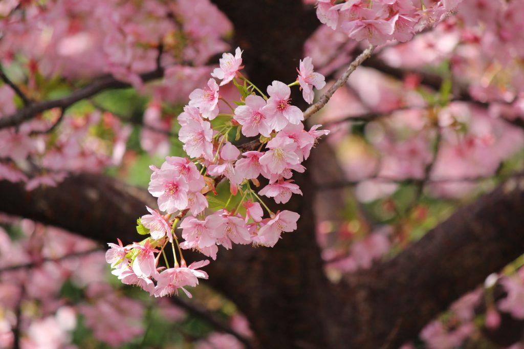 東京都市大学の河津桜