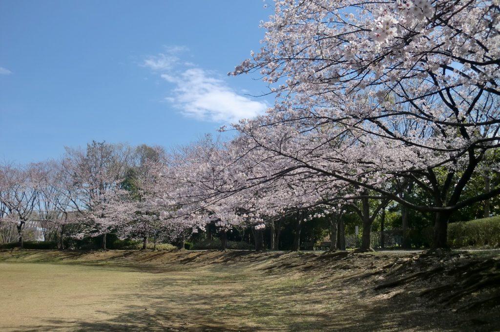 山崎公園の桜